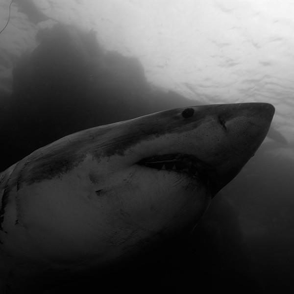 shark-diving-aliwal-shoal4
