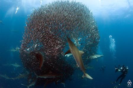 sardine-run-wild-coast-3